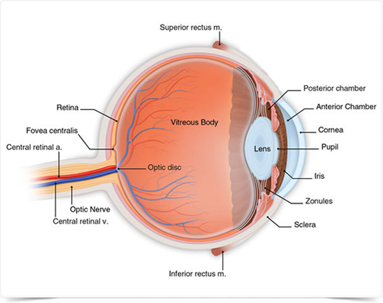 Aurolab anatomy eyelids the eye is covered by the eyelids which protect the outer part of the eye ccuart